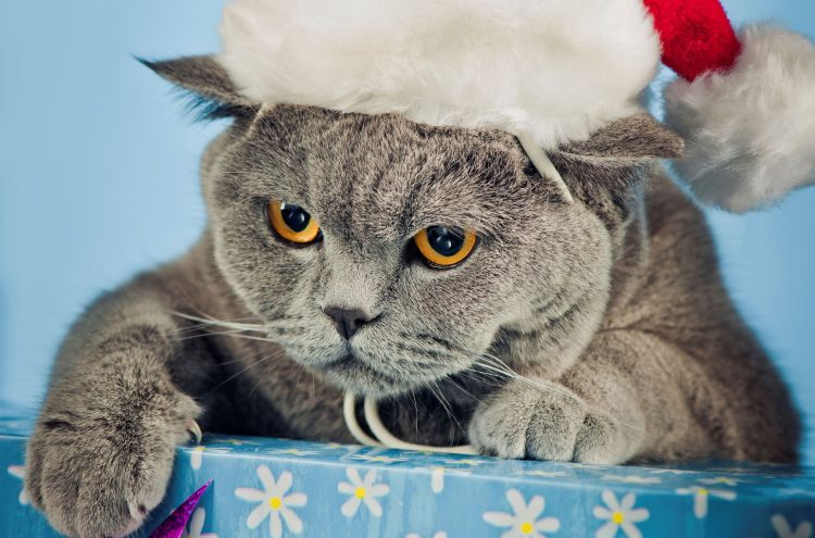 angry, Briton, gray, cap, Christmas, cat, box, feet, claws, snout, eyes, yellow