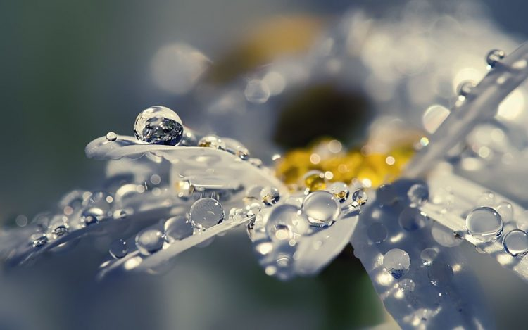 petals, drops, dew, flower, chamomile, shine, radiance, macro