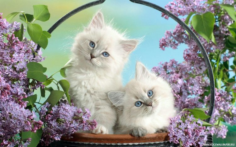 Cats White Blue eyed basket lilac