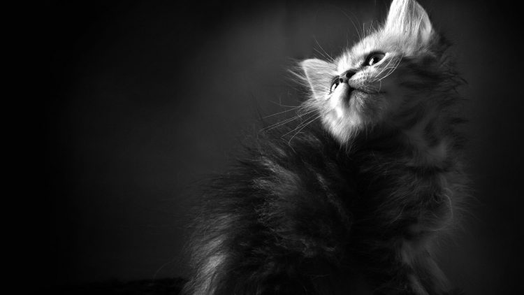 Cats kitten bw wallpaper