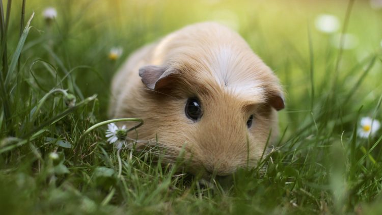 Cavy animal grass