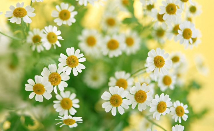 Chamomile Flowers White bouquet Plants