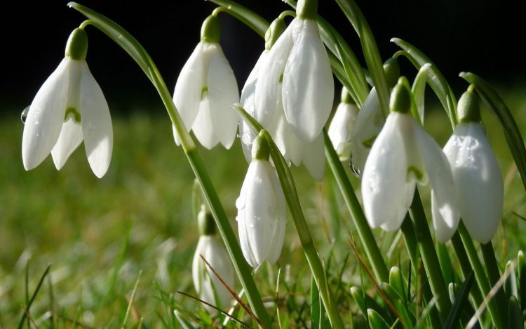 Snowdrops Flowers grass drops