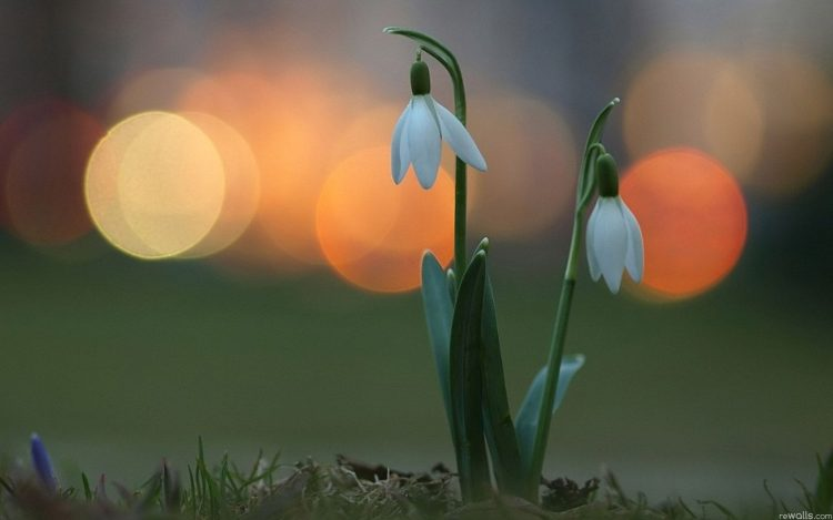 Snowdrops lights spring