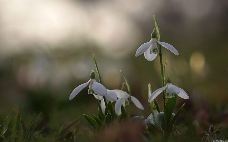 Snowdrops spring bloom