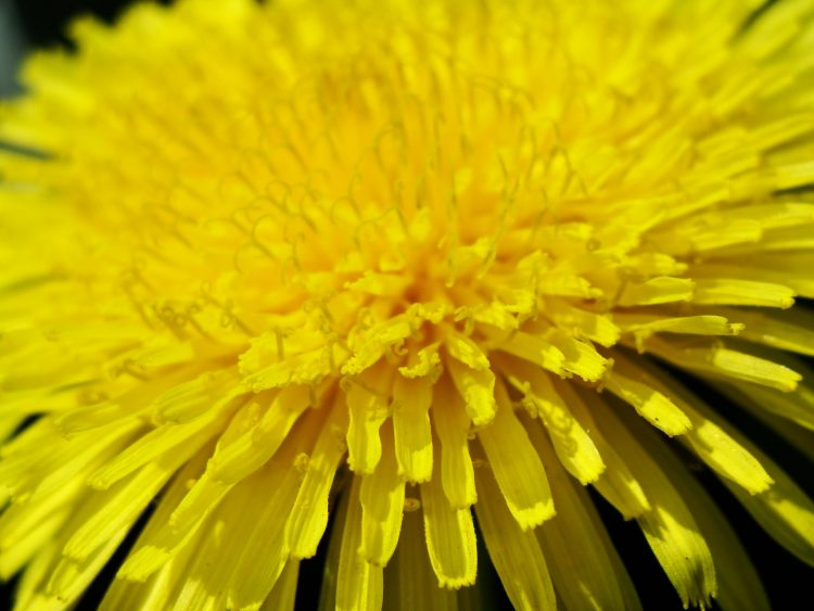 dandelion yellow