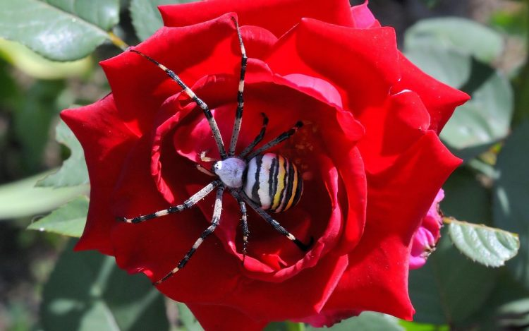 spider flower rose
