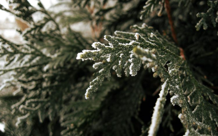 macro branch nature spruce photo