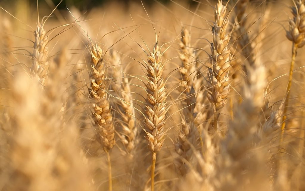 nature close up photos of wheat field