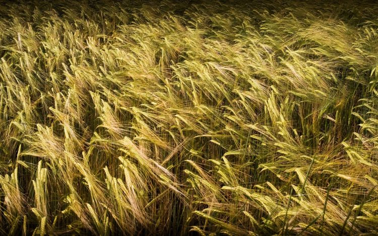 nature grass field wheat photo