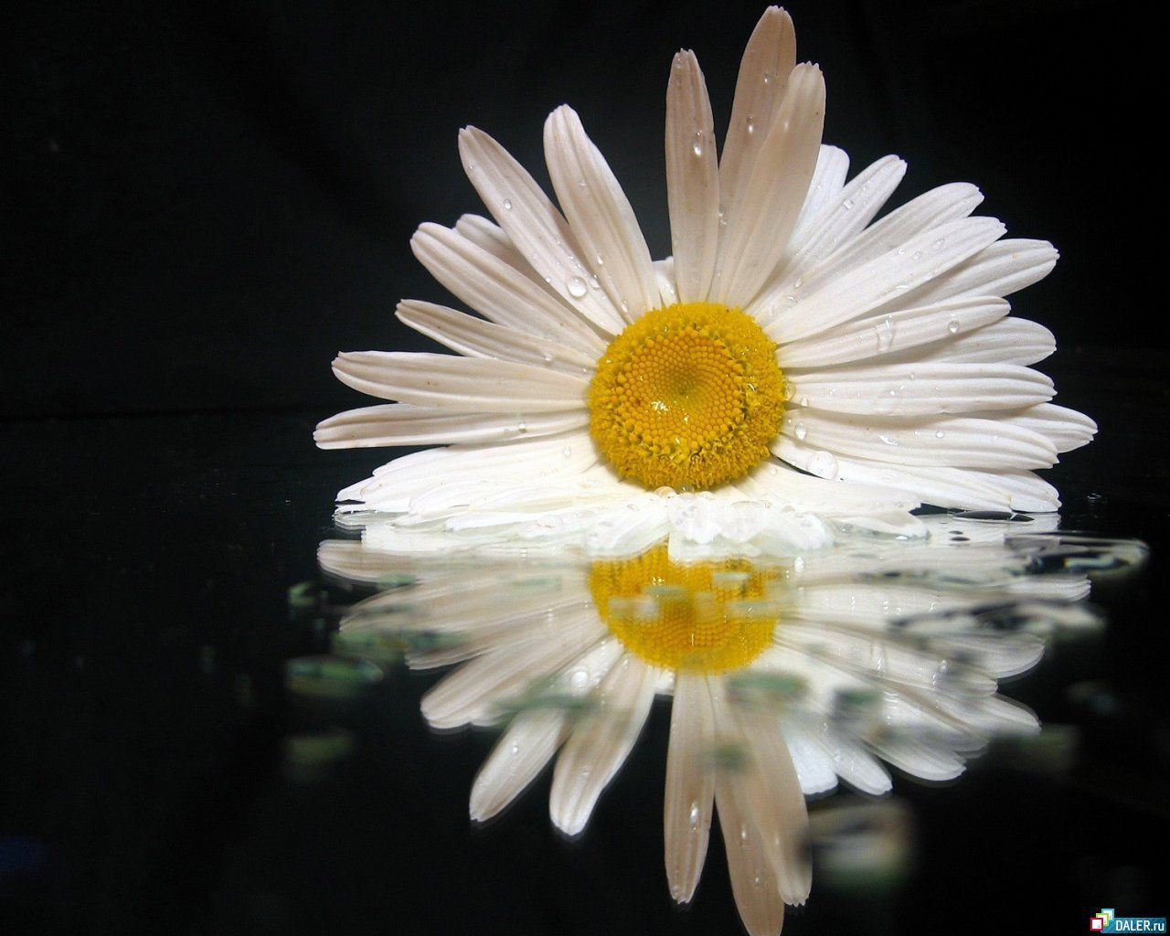 chamomile on the water black