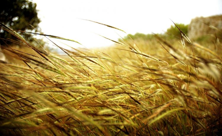 nature, Macro, field, Plants, spikelets, hd  desktop wallpapers , Pc backgrounds, free pictures