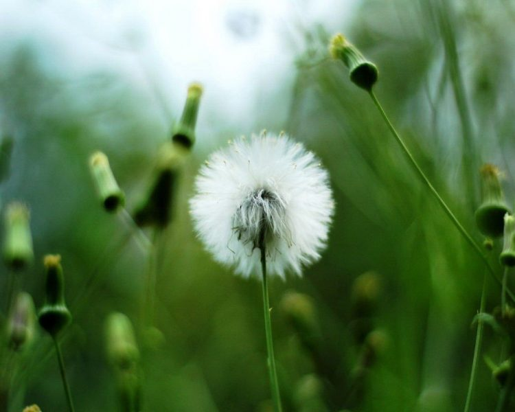 plant, white, dandelion, greens, hd  desktop wallpapers , Pc backgrounds, free pictures