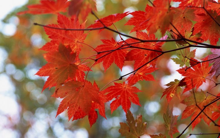 autumn, leaves, maple, red, branches, wallpapers , Pc backgrounds, free photos