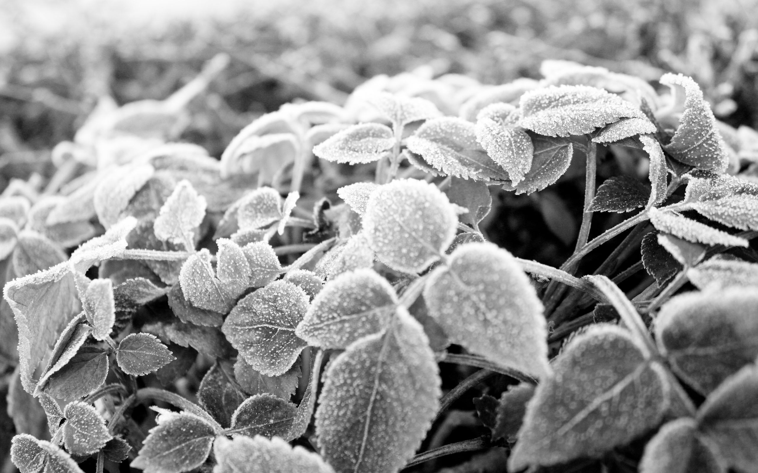 black and white, leaves, rime, wallpapers , Pc backgrounds, free photos - HD wallpaper desktop backgrounds