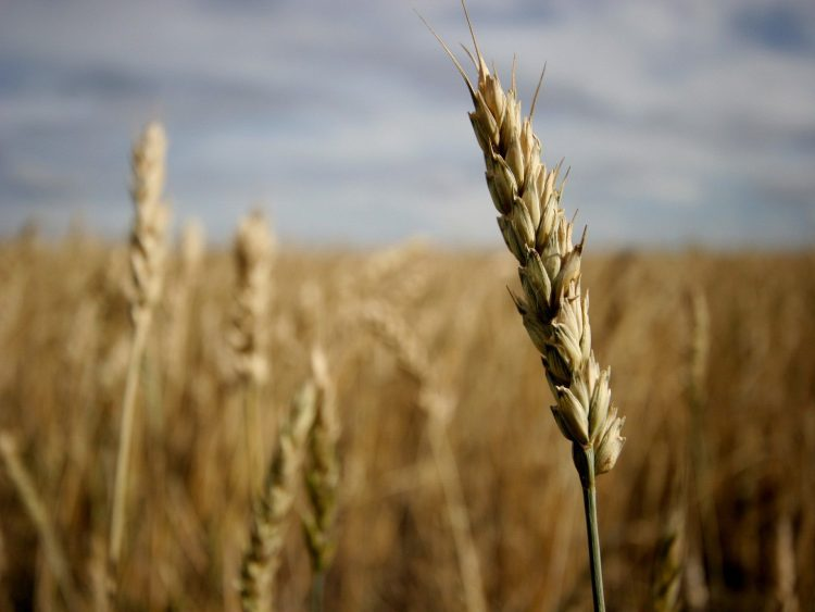 field, grain, ear, wallpapers , Pc backgrounds, free photos