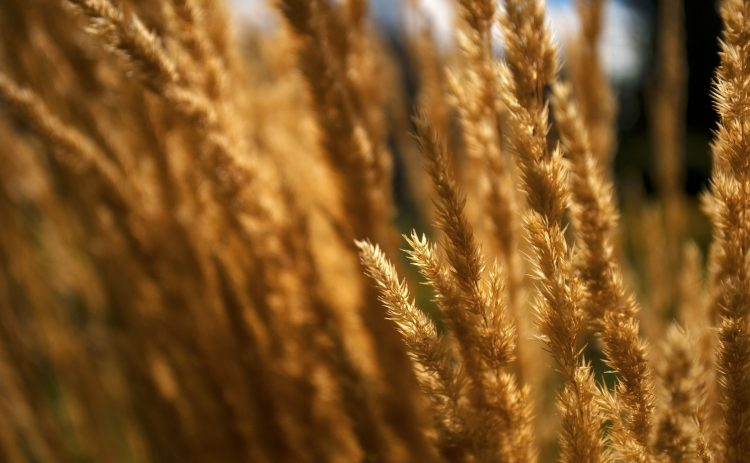 field, nature, Macro, dry, Herbs, wallpapers , Pc backgrounds, free photos