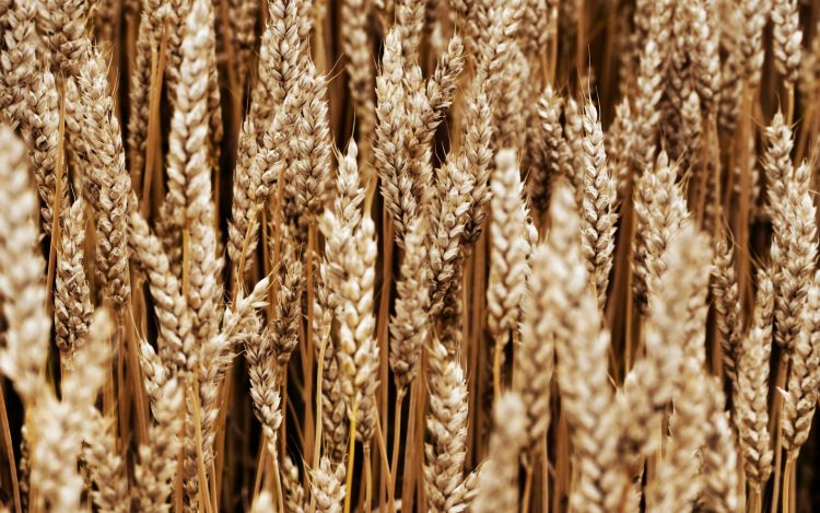 field, nature, ears, spikelets, spica, wheat, wallpapers , Pc backgrounds, free photos
