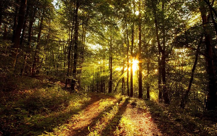 forest, Trees, light, sun, wallpapers , Pc backgrounds, free photos