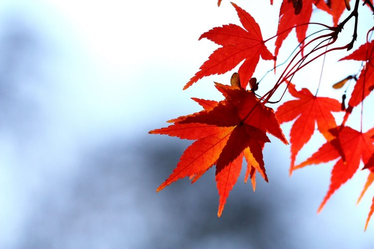 leaves, red, maple, branch, sky, autumn, wallpapers , Pc backgrounds, free photos