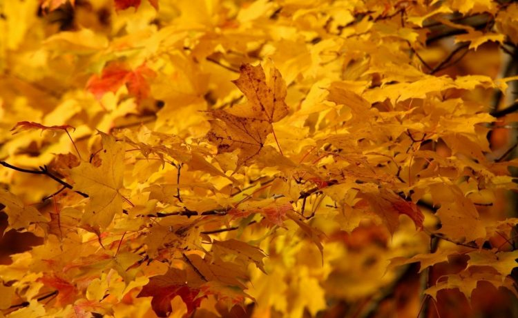 nature ,yellow, leaves, maple, wallpapers , Pc backgrounds, free photos