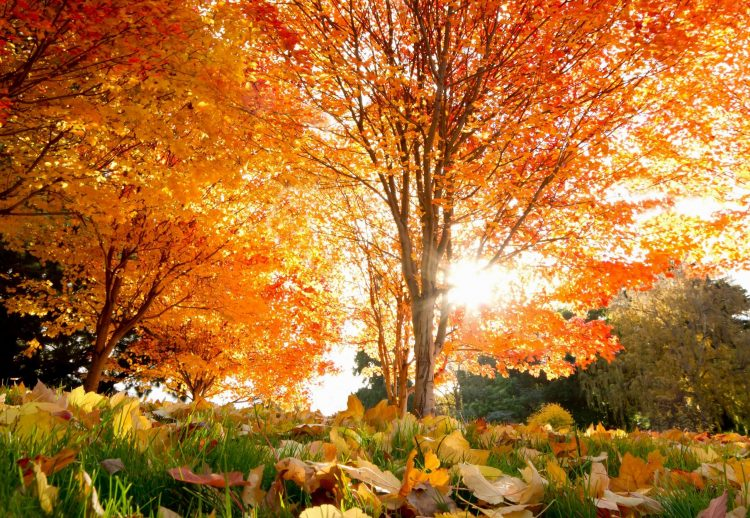 autumn, Beautiful, Trees, Maple, leaves, wallpapers , Pc backgrounds, free photos