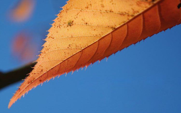 autumn, list, blue background, wallpapers , Pc backgrounds, free photos