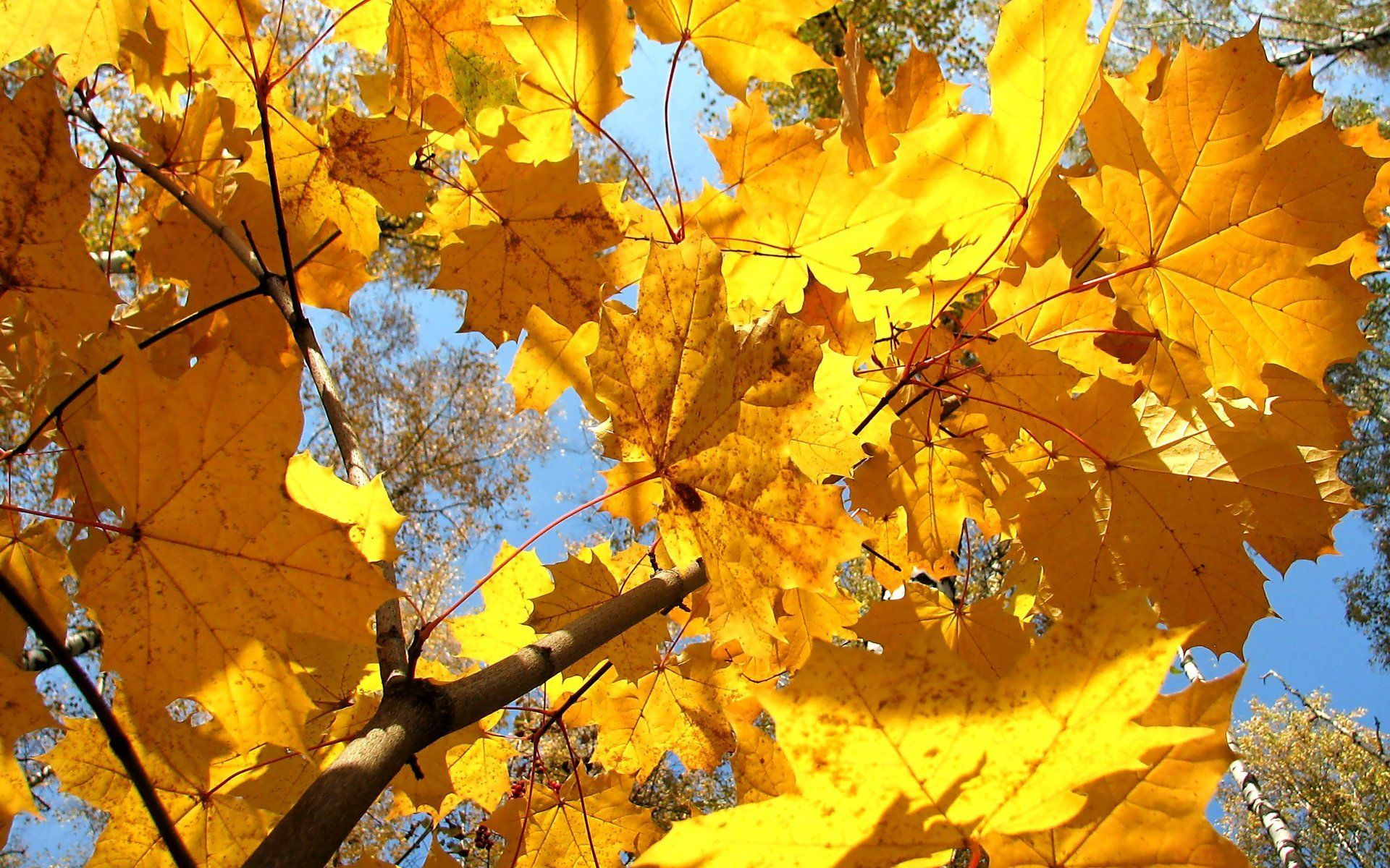 autumn, maple, yellow, wallpapers , Pc backgrounds, free photos - HD wallpaper desktop backgrounds