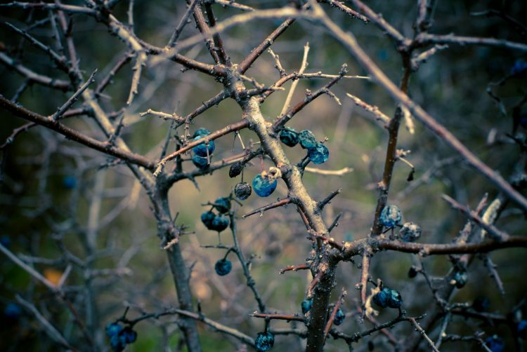 blueberries, autumn, dark, branch, wallpapers , Pc backgrounds, free photos