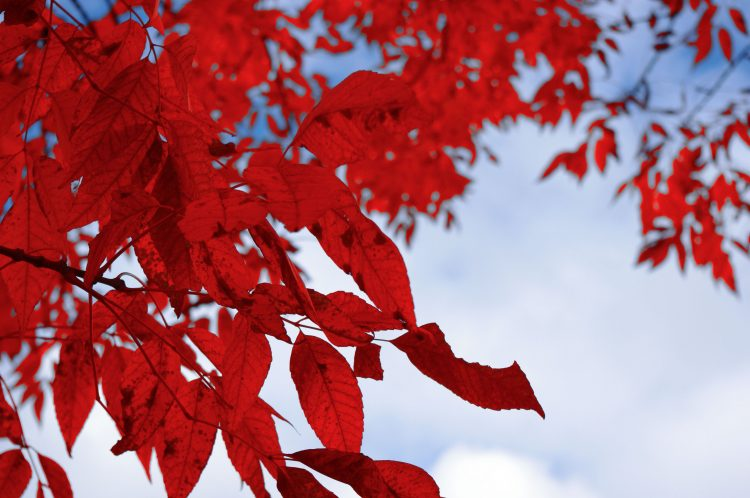 branch, leaves, red, white, wallpapers , Pc backgrounds, free photos