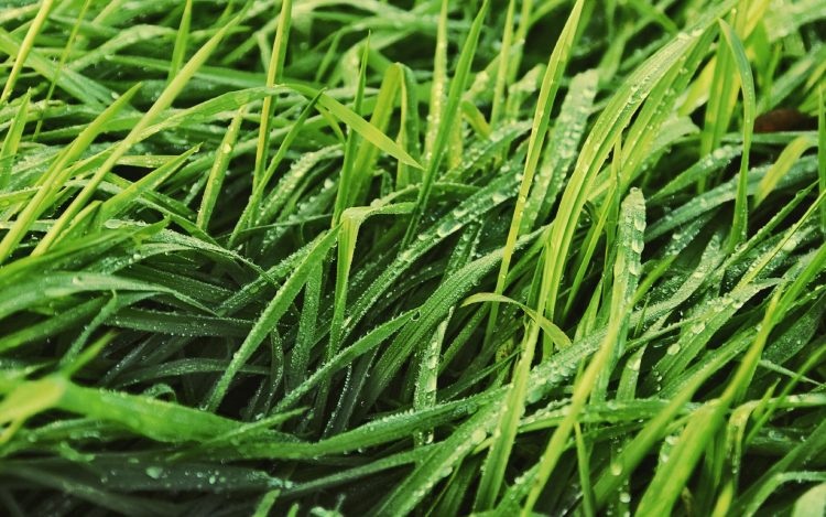 grass, greens, lawn, leaves, drops, dew, wallpapers , Pc backgrounds, free photos