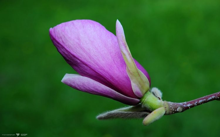 magnolia, Flowers, nature, wallpapers , Pc backgrounds, free photos