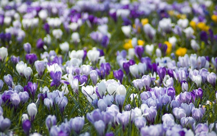meadow, White, purple, spring, nature, wallpapers , Pc backgrounds, free photos