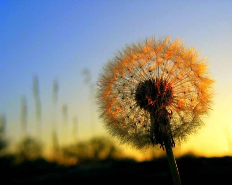 nature, dandelion, dawn, wallpapers , Pc backgrounds, free photos