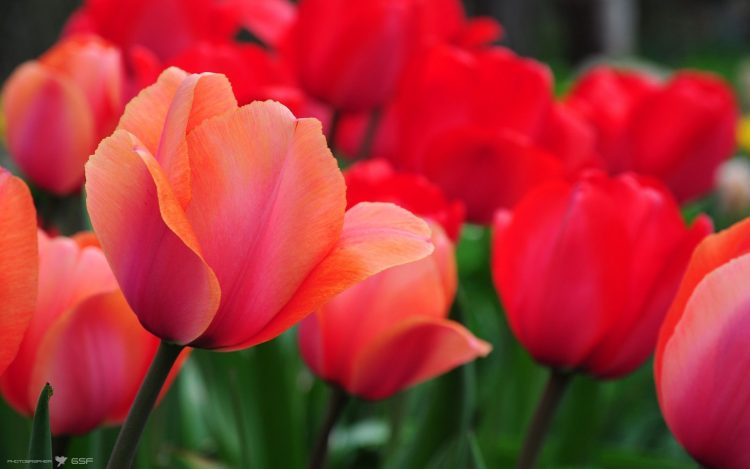 red, Tulips, Flowers, nature, wallpapers , Pc backgrounds, free photos