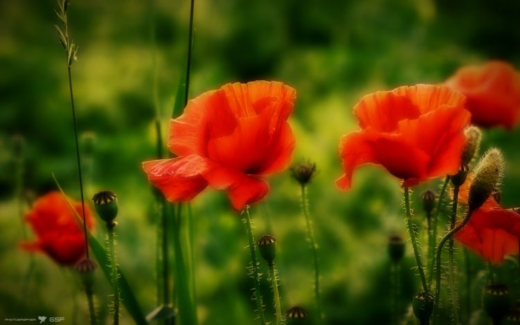 Poppies, Flowers, nature, wallpapers , Pc backgrounds, free photos
