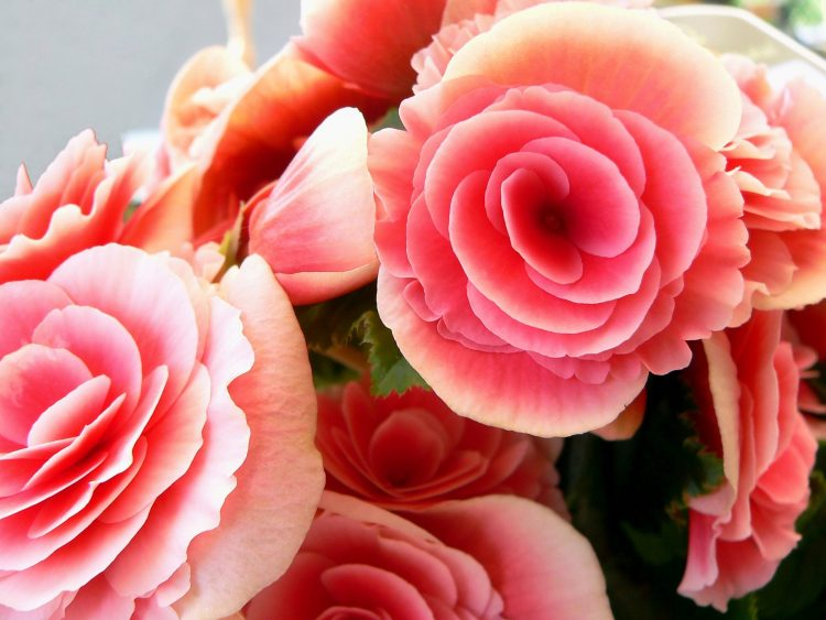 Rose, bouquet, pink, wallpapers , Pc backgrounds, free photos