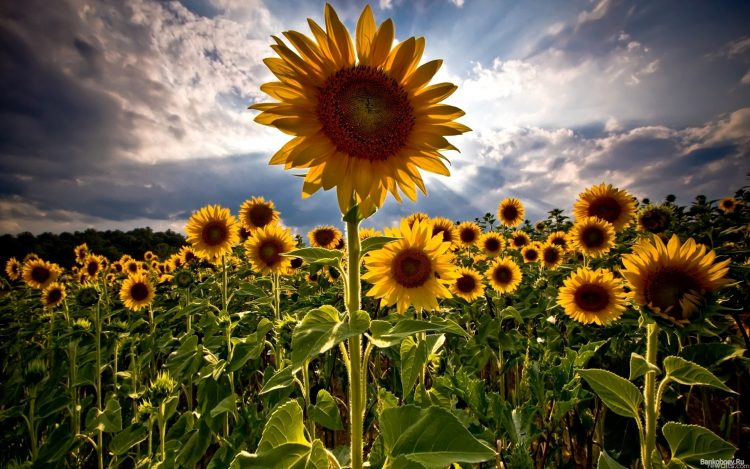 Sunflowers, field, sky, summer, wallpapers , Pc backgrounds, free photos
