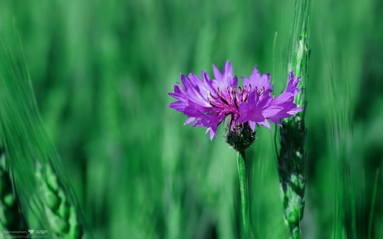 knapweed, nature, wallpapers , Pc backgrounds, free photos