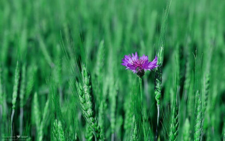 knapweed, wheat, nature, wallpapers , Pc backgrounds, free photos