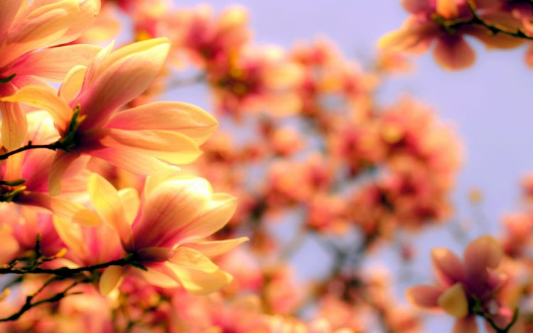 magnolia, Flowers, wallpapers , Pc backgrounds, free photos