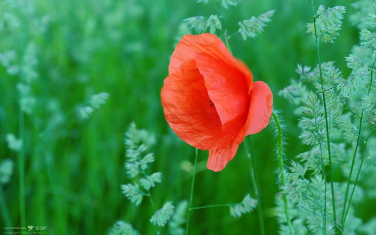 poppy, Flowers, grass, wallpapers , Pc backgrounds, free photos