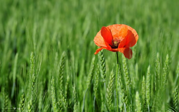 poppy, wheat, nature, wallpapers , Pc backgrounds, free photos