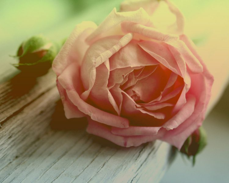 rose, flower, beauty, pink, wallpapers , Pc backgrounds, free photos