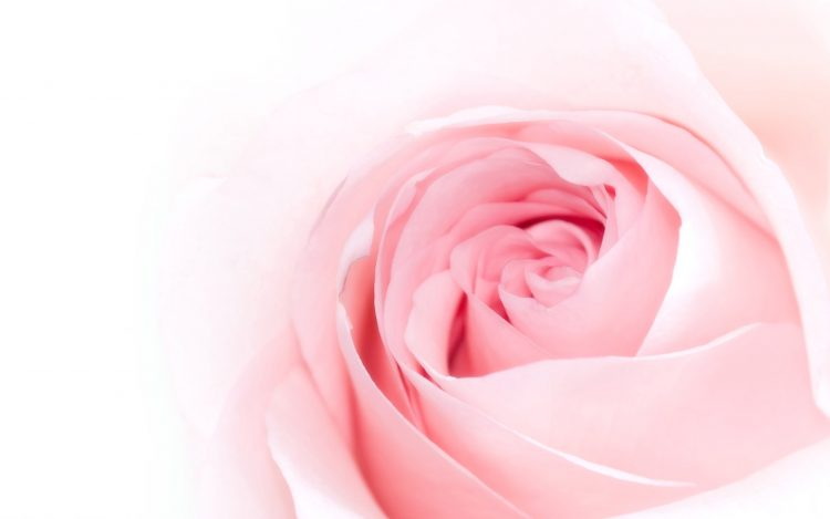 rose, flower, tender, petals, Pink, wallpapers , Pc backgrounds, free photos