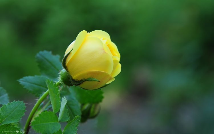 rose, yellow, macro, Flowers, wallpapers , Pc backgrounds, free photos