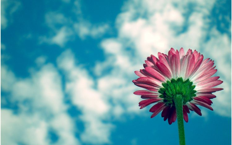 sky, clouds, daisy, Flowers, wallpapers , Pc backgrounds, free photos