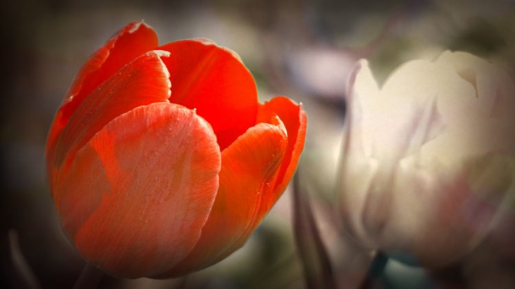 tulip, red, white, wallpapers , Pc backgrounds, free photos