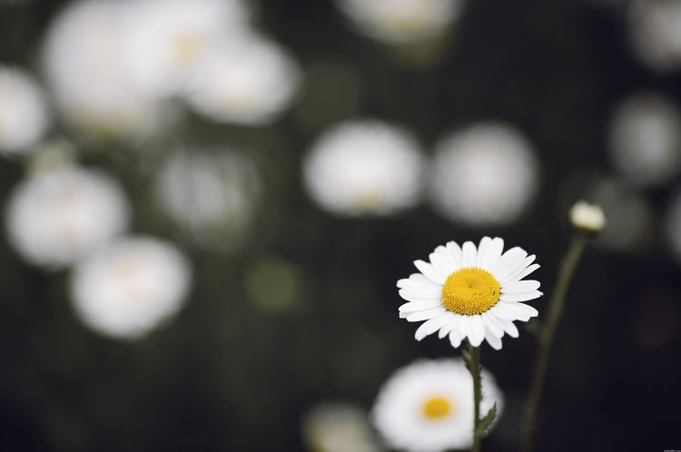 Chamomile, flower, bokeh, wallpapers , Pc backgrounds, free photos