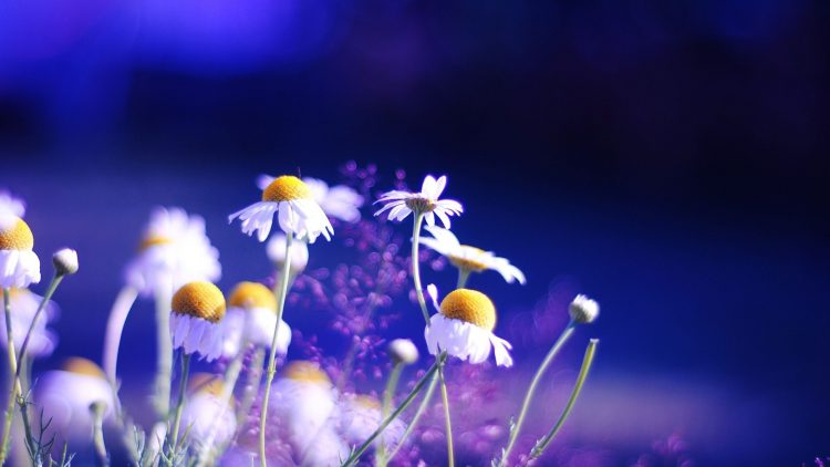 Chamomile, nature, beauty 01, wallpapers , Pc backgrounds, free photos